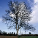 Monumentalbaum Weißpappel - Populus Alba