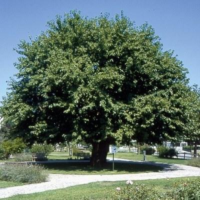 Monumentale Maulbeerbaum - Morus Alba