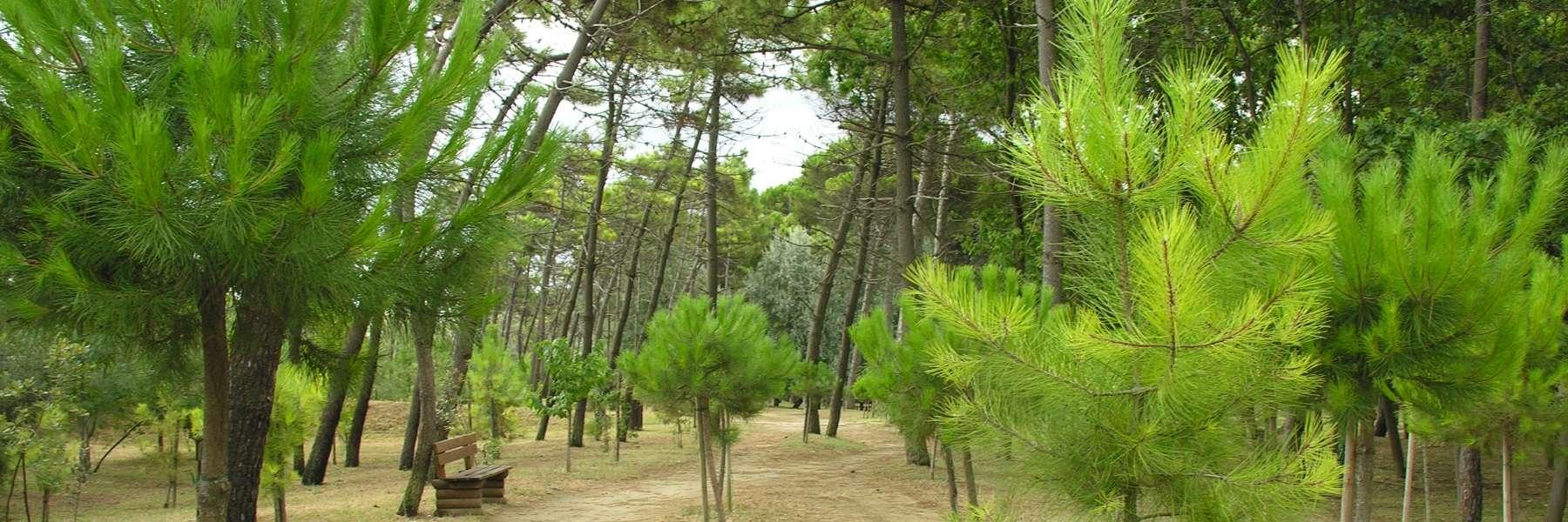 Der Pinienwald von Pinarella und Tagliata