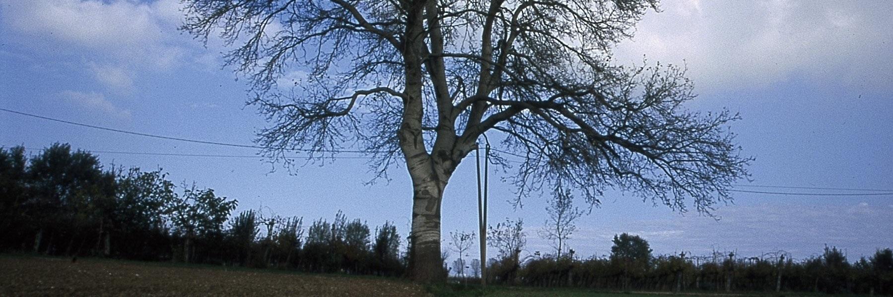 Monumental Tree: White Poplar - Populus Alba