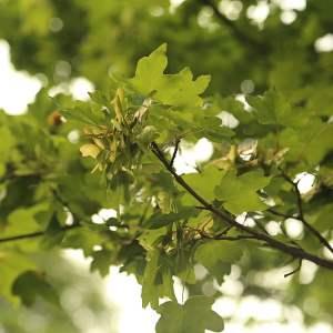 Acero campestre