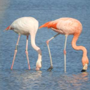 Pink flamingos - Ph. Livietto Teodorani