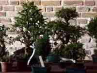 Cervia Città Giardino, Primavera in bonsai
