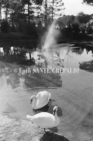 Cigni al Parco Naturale - Ph. Sante Crepaldi