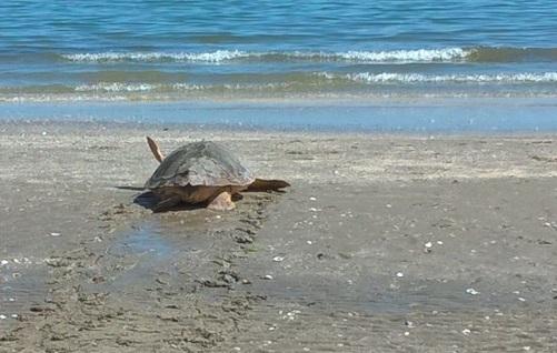 Liberazione in mare della tartaruga marina