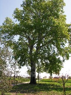 Albero Monumentale Pioppo Bianco - Populus Alba