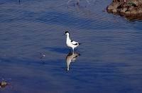 Birdwatching Parco del Delta Stazione Sud - avocetta