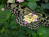 Farfalla Idea Lueconoe